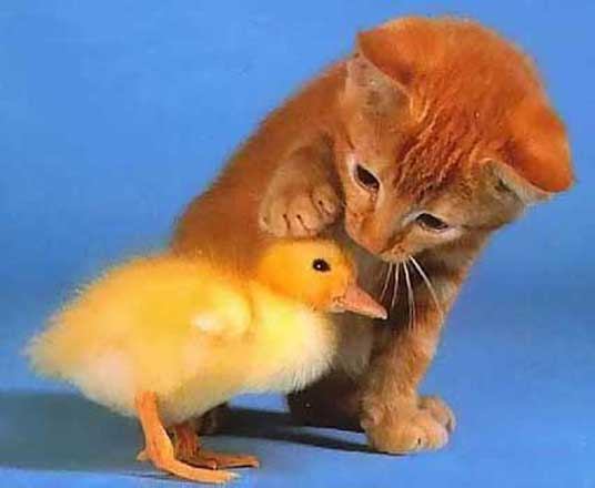 kitten with chick