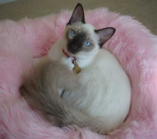 balinese cat. The breed gained