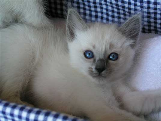 balinese kitten