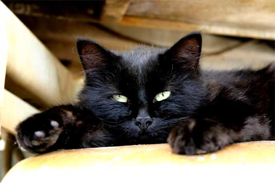 lying black cat