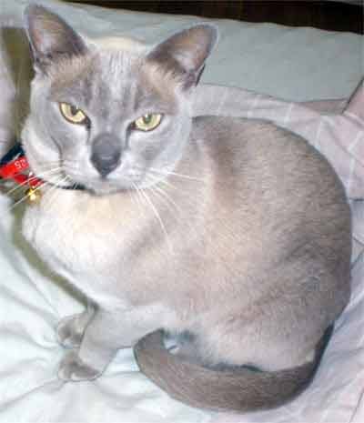 Burmese Cats: Photos and Breed Information