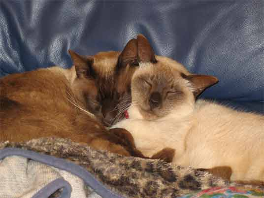 burmese cats photos and breed information