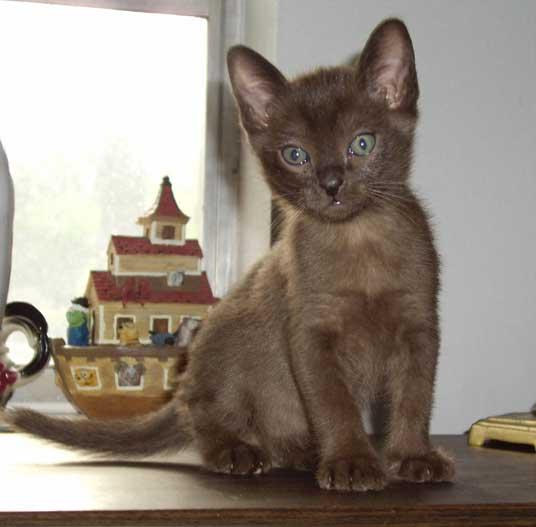 burmese kitten