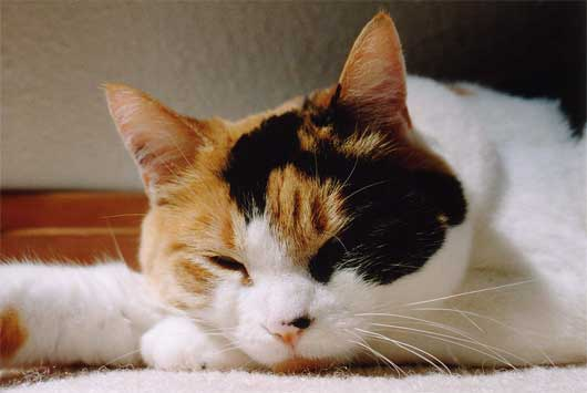 Sleeping calico cat