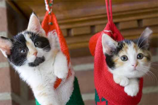 Calico kittens in stockings