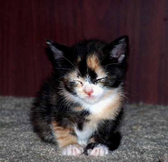 sleepy calico kitten