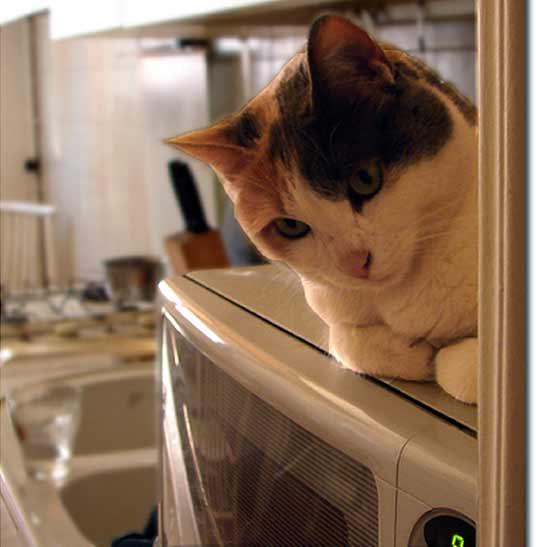 microwave cat