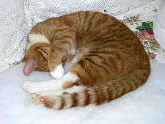 curled cat