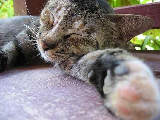 sleeping cat on paw