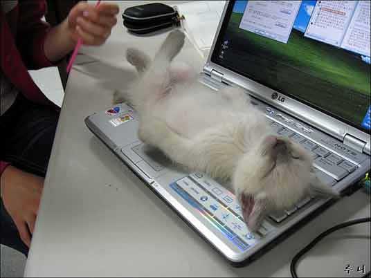kitten on laptop