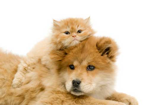 ginger cat with dog