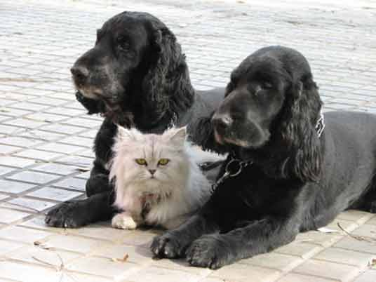 spaniels with cat