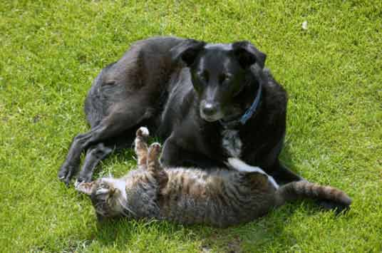 black dog with cat on back