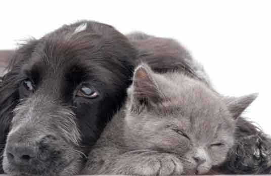 grey cat and dog