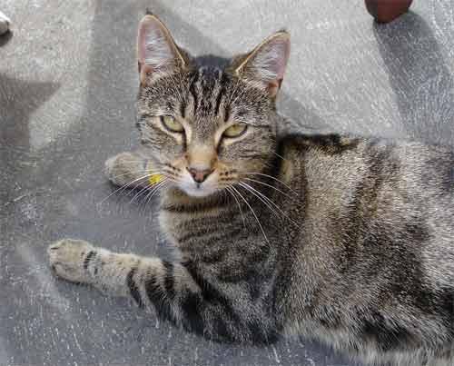 Tabby Cats: Beautiful Photos Tabby Cat