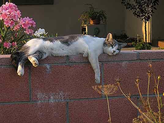 lazing cat