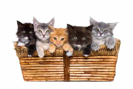 kittens in basket