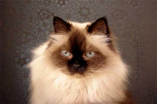 Himalayan cat characteristics