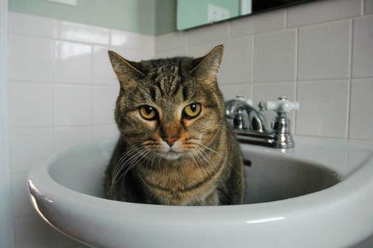 cat in basin