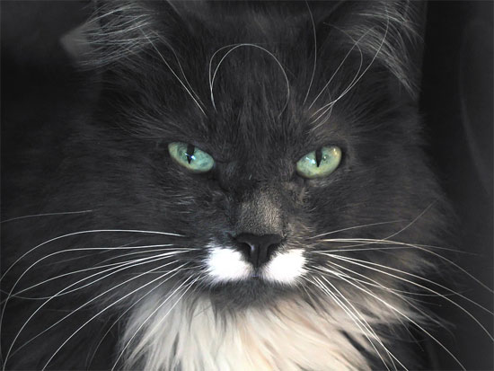 Black and white maine coon