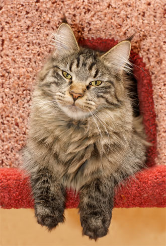 maine coon sitting