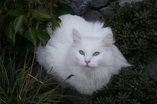 white norwegian forest cat