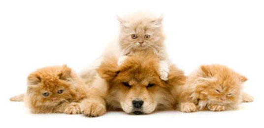 orange kittens with dog