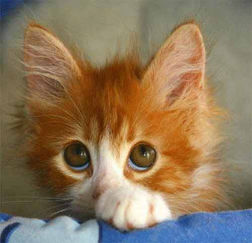 pictures of kittens and cats. kitten with big eyes