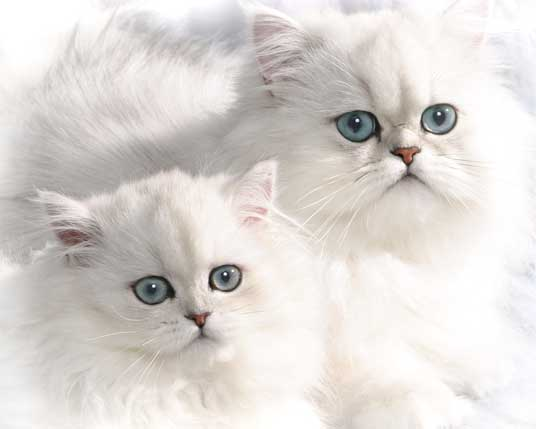 two persians
