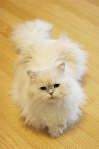 white persian