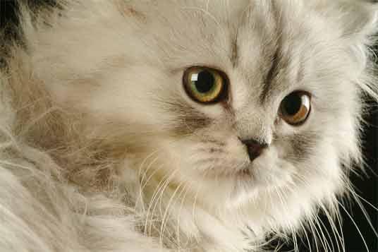 Anak Kucing Persia Putih