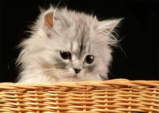 persian kitten in basket