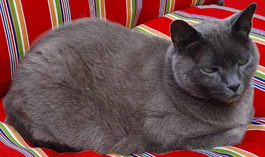 The Russian Blue Cat: Best Photos