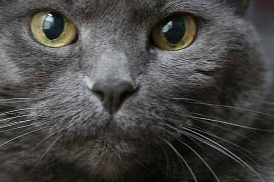 russian blue close-up