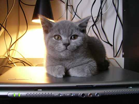 kitten on tv