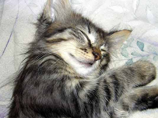 sleeping silver tabby