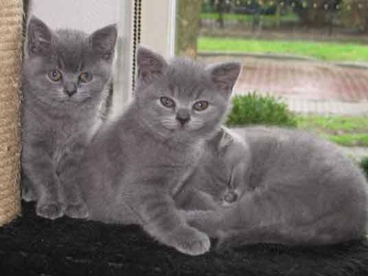 silver kittens