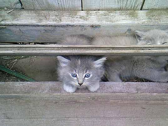 hiding silver kittens