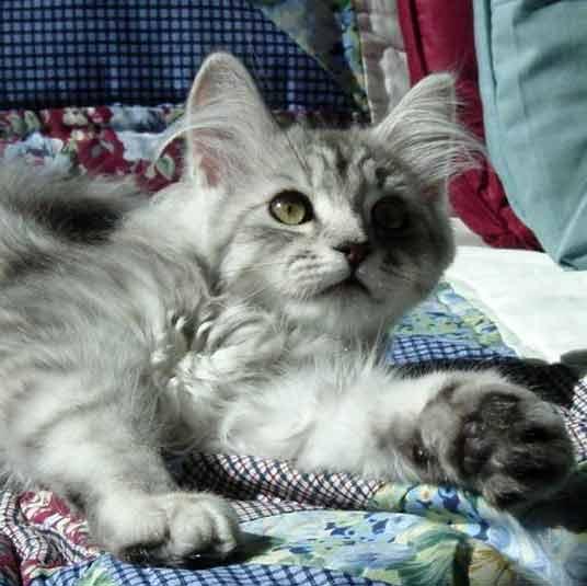 reclining kitten