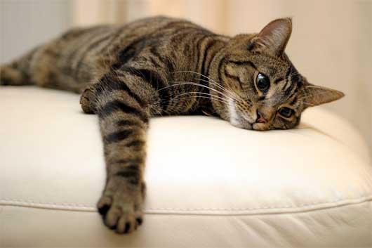 Tabby cat lying1