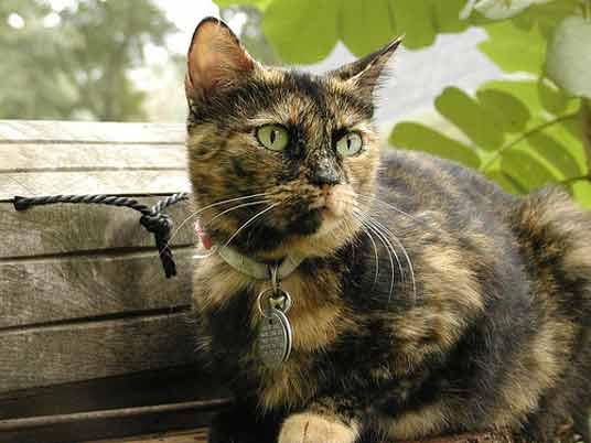 Tortoiseshell patterns have no white in their coats, just black and brown or