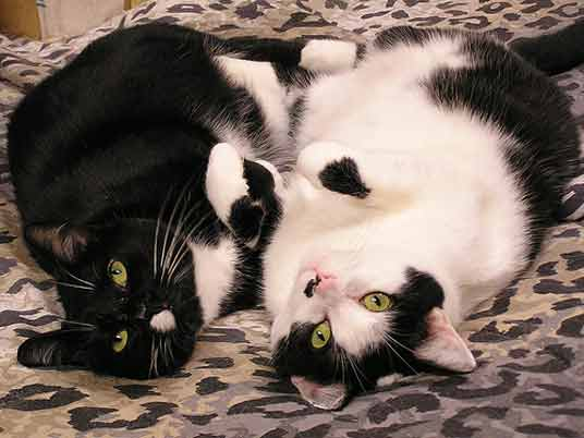 two tuxedo cats