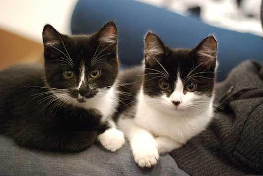 tuxedo kittens