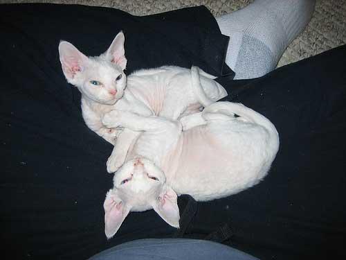 white devon rex kittens
