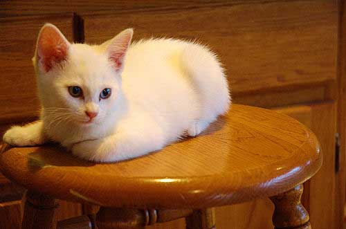 white kitten on stool