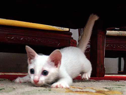 white kitten playing
