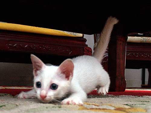 white kitten playing