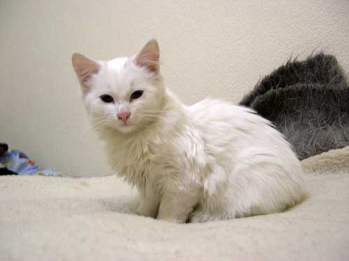white fluffy cat on bed