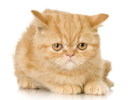 ginger persian