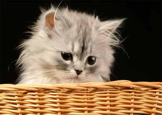persian kitten in basket